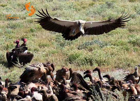 game drive – safari – vultures – IMG_1559
