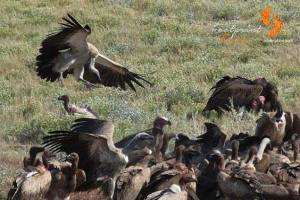 game drive – safari – vultures – IMG_1573