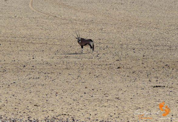 gemsbok – namibia – IMG_0467