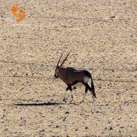 gemsbok – namibia – IMG_0468