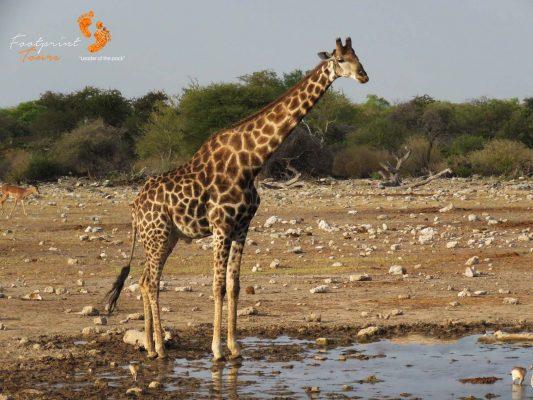 giraffe – safari – IMG_1722