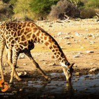 giraffe – safari – IMG_1733