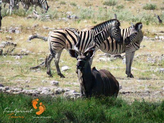 kudu & zebra – safari – IMG_1636