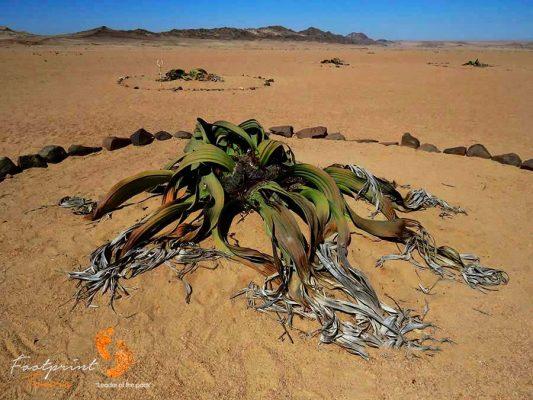 namibia – welwitchia – IMG_1159