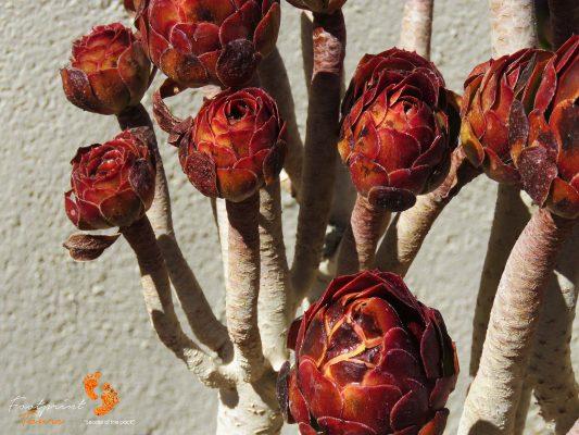 namibian plant – IMG_1181