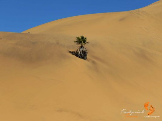 palmtree grows on dune 7 – IMG_1048