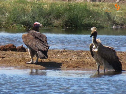 vultures – IMG_1643