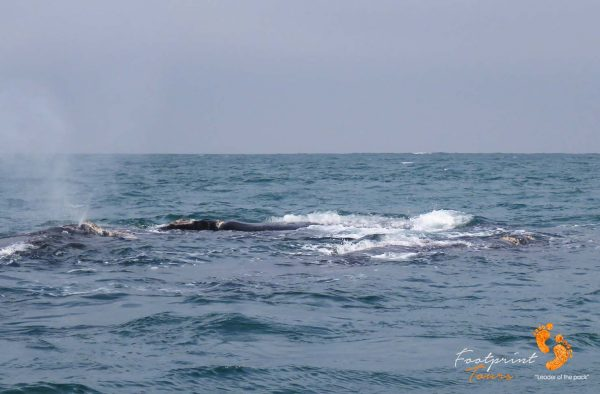 whale blowing – IMG_2713