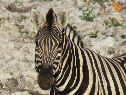zebra – IMG_1419