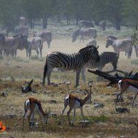 zebra & springbok – etosha – IMG_1626