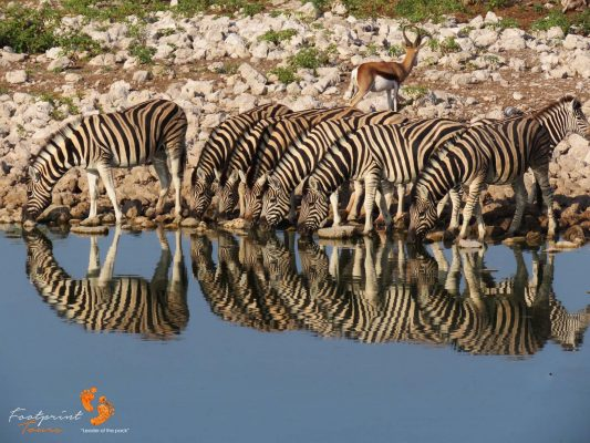 zebras at waterhole – IMG_1479