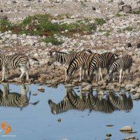 zebras at waterhole – game drive – IMG_1463