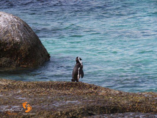 boulders beach penguin – IMG_2527