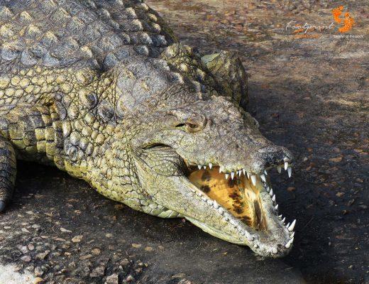 crocodile – IMG_2552