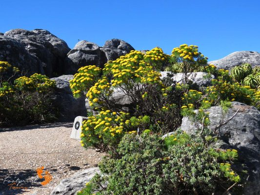 fynbos on table mountain – IMG_4879