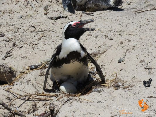penguin with eggs – IMG_5113
