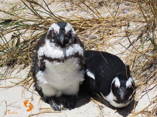 penguins boulders beach – IMG_4853