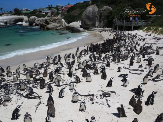 penguins boulders beach – IMG_4857