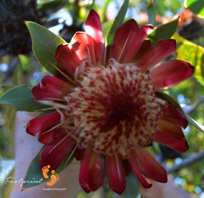 protea – DSC_1154