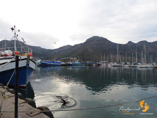 seal at houtbay harbour – IMG_2085
