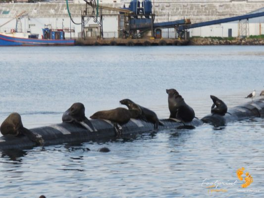 seals at houtbay harbour – IMG_2099