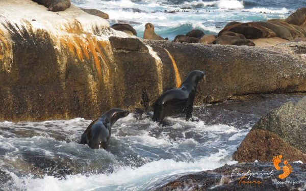 seals – houtbay – IMG_2131