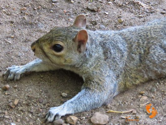 squirrel – company gardens – cape town – IMG_4960