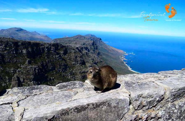 table mountain dassie – cape town – IMG_4896