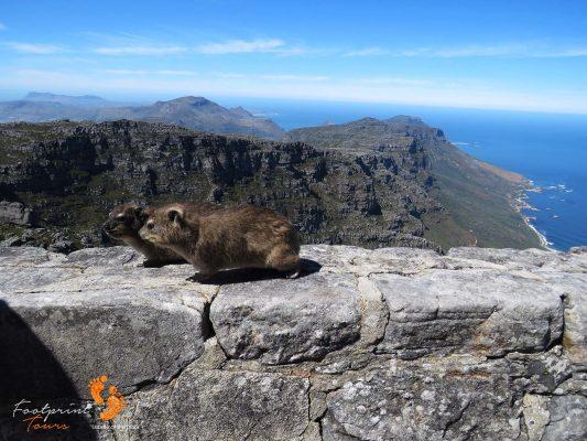 table mountain dassies – IMG_4894