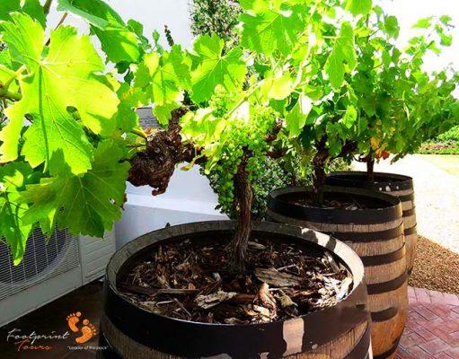 winelands – IMG_4539