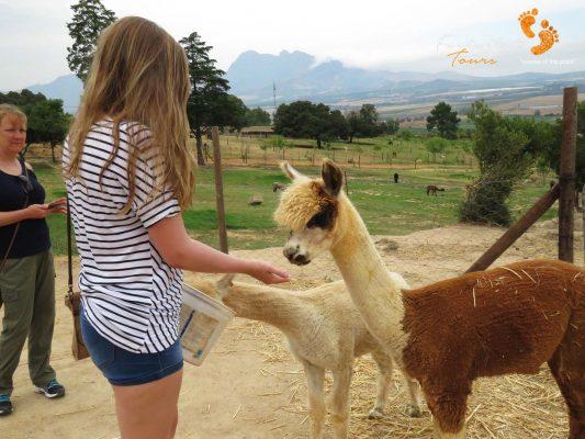 winelands – alpaka feeding – IMG_5195