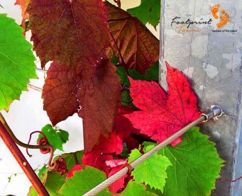 winelands – autumn leaves – IMG_4666