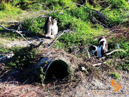 penguin nest – overberg – IMG_1988