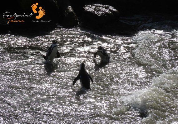 penguins swimming – IMG_8022