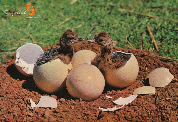 ostrich chicks – IMG_0005