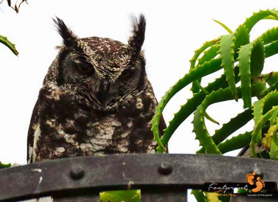owl – kirstenbosch – IMG_3563