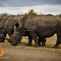 rhinos - Kruger National Park